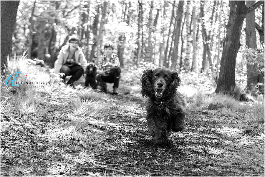 a black and white photo of a cocker spaniel being let off and running towards the camera on wimbledon common