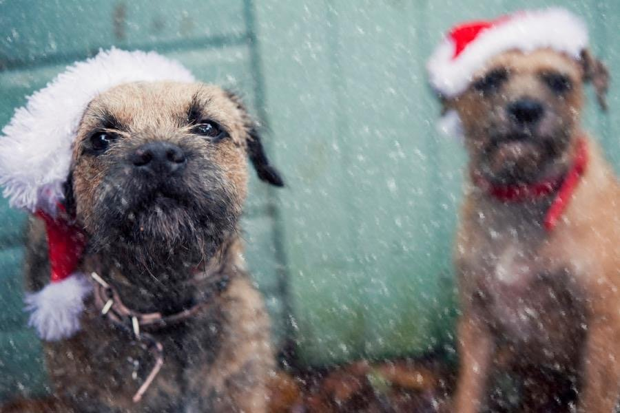 two border terriers in the snow wearing Christmas hats